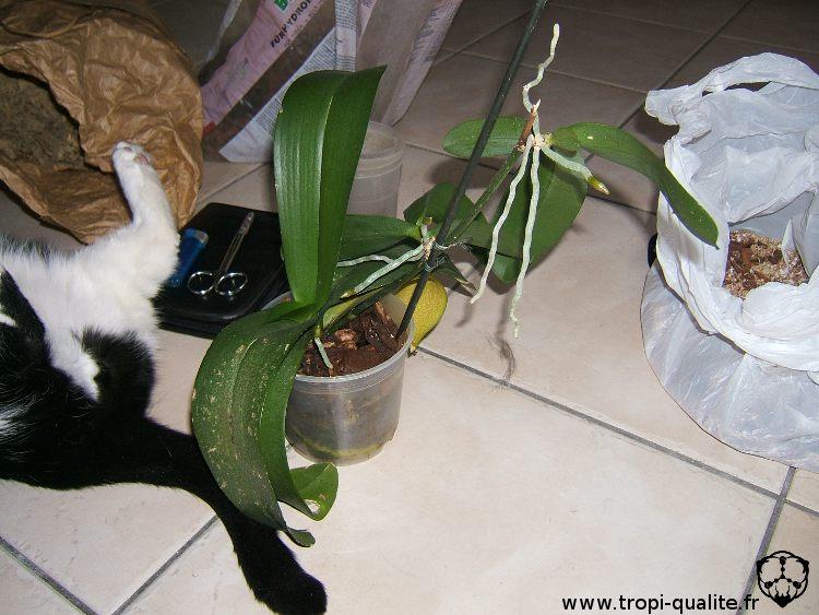 planter un keiki