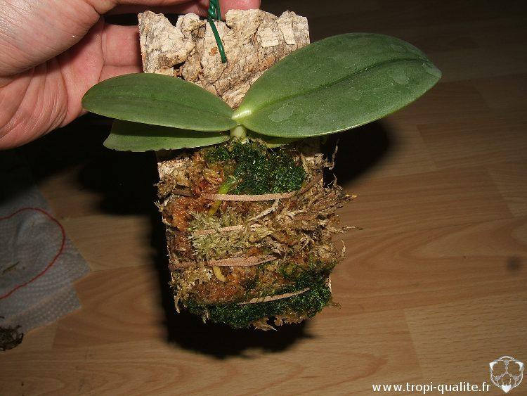 monter un phalaenopsis en piphyte tropi qualit. Black Bedroom Furniture Sets. Home Design Ideas