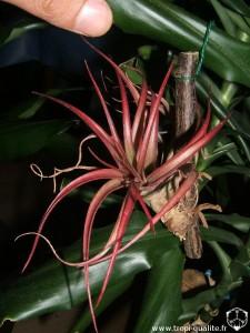 Petit Tillandsia brachycaulos rougi par le soleil (cliquez pour agrandir)