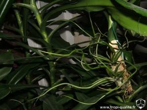 Tillandsia bulbosa Elongata form (cliquez pour agrandir)