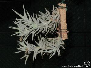 Tillandsia paleacea spécimen #3 parfois appelé T. paleacea Enano (cliquez pour agrandir)