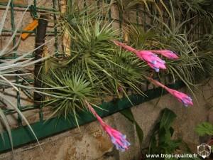 Tillandsia tenuifolia spécimen #1 (cliquez pour agrandir)