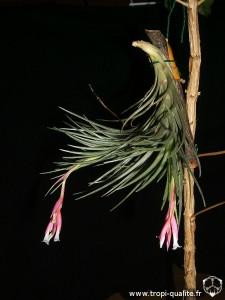 Tillandsia tenuifolia spécimen #2 à fleurs blanches (cliquez pour agrandir)