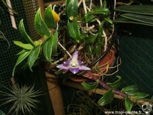 Floraison Dendrobium victoria-reginae 05/2012 (cliquez pour agrandir)