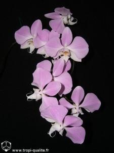 Floraison Phalaenopsis sanderiana inflorescence (cliquez pour agrandir)