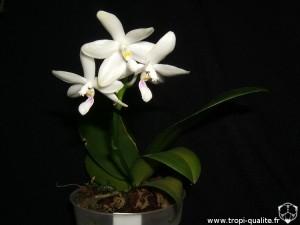 Floraison Phalaenopsis tetraspis (cliquez pour agrandir)