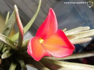 Tillandsia albertiana spécimen #1 fleur (cliquez pour agrandir)