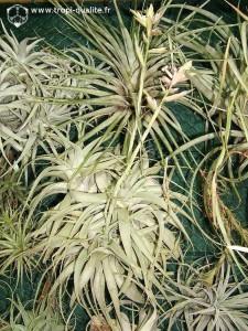 Tillandsia cacticola spécimen #2 (cliquez pour agrandir)