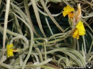 Tillandsia crocata spécimen #2 inflorescence (cliquez pour agrandir)