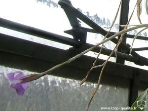 Tillandsia paleacea inflorescence (cliquez pour agrandir)