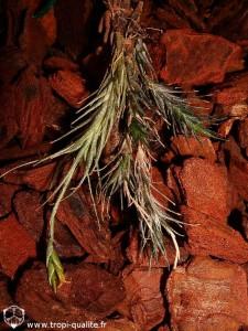 Tillandsia tricholepis spécimen #1 2009 (cliquez pour agrandir)