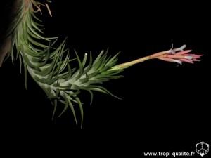 Floraison Tillandsia araujei spécimen #1 (cliquez pour agrandir)