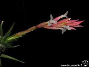 Tillandsia araujei spécimen #1 inflorescence (cliquez pour agrandir)