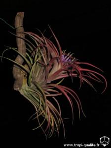 Tillandsia brachycaulos 2014 (cliquez pour agrandir)