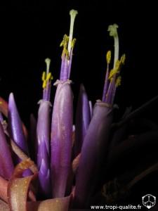 Tillandsia brachycaulos fleur (cliquez pour agrandir)