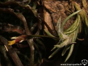 Tillandsia capillaris spécimen #2 (forma incana = T. capillaris, cliquez pour agrandir)