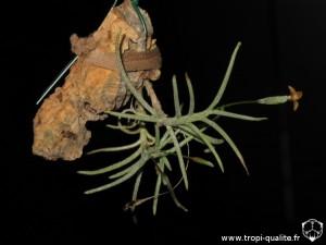 Floraison Tillandsia virescens (anciennement T. capillaris spécimen #10, forma virescens, cliquez pour agrandir)