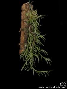 Floraison Tillandsia capillaris spécimen #5 (cliquez pour agrandir)