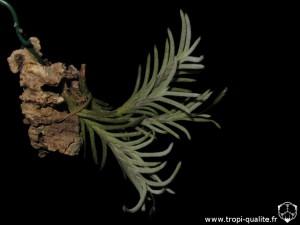 Floraison Tillandsia capillaris spécimen #8 (cliquez pour agrandir)