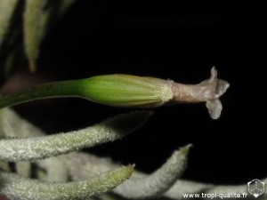 Floraison Tillandsia capillaris spécimen #8 fleur (cliquez pour agrandir)