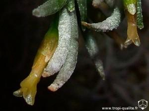 Tillandsia capillaris spécimen #1 fleur (cliquez pour agrandir)