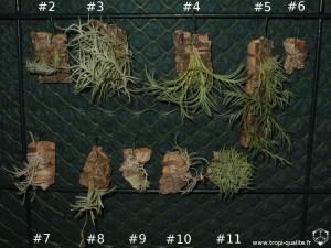 Tillandsia capillaris, mes 10 spécimens (cliquez pour agrandir)