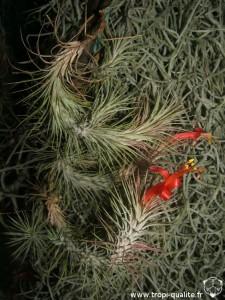 Floraison Tillandsia funckiana spécimen #2 (cliquez pour agrandir)
