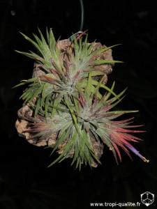 Floraison Tillandsia ionantha 'Mexico' 08/2013 (cliquez pour agrandir)