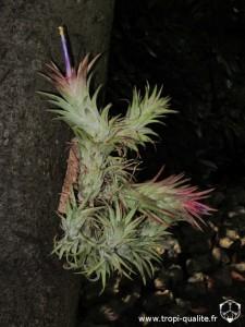 Tillandsia ionantha var. vanhyningii (cliquez pour agrandir)