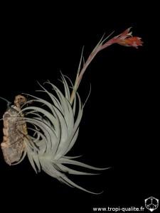 Floraison Tillandsia leonamiana spécimen #1 (cliquez pour agrandir)