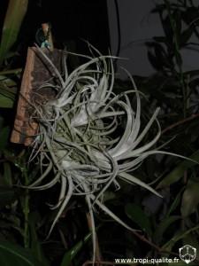 Tillandsia paucifolia spécimen #3 (cliquez pour agrandir)