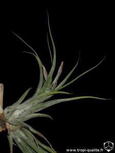Tillandsia paucifolia spécimen #2 (cliquez pour agrandir)