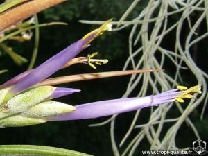 Tillandsia paucifolia spécimen #1 fleur (cliquez pour agrandir)