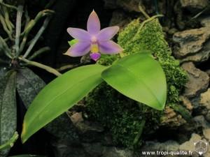 Floraison phalaenopsis violacea coerulea 07/2013 (cliquez pour agrandir)