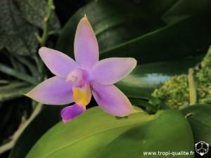 Floraison phalaenopsis violacea coerulea fleur 07/2013 (cliquez pour agrandir)
