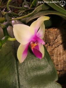 Floraison Phalaenopsis bellina fleur (cliquez pour agrandir)