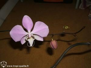 Floraison Phalaenopsis sanderiana fleur (cliquez pour agrandir)