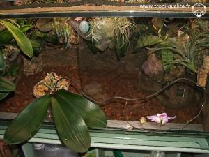 Floraison Phalaenopsis sanderiana (cliquez pour agrandir)