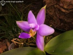 Floraison Phalaenopsis violacea var. coerulea fleur (cliquez pour agrandir)