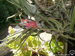 Floraison Tillandsia pruinosa (cliquez pour agrandir)
