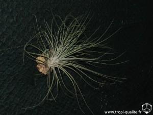 Tillandsia bartramii (cliquez pour agrandir)