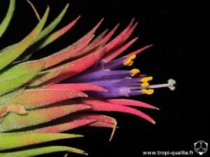 Tillandsia ionantha 'Peanut' fleur (cliquez pour agrandir)
