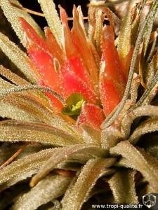 Tillandsia mauryana inflorescence (cliquez pour agrandir)