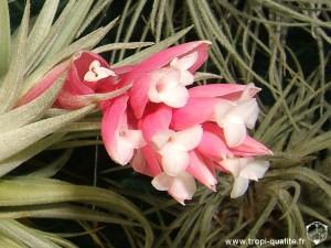 Tillandsia recurvifolia inflorescence (cliquez pour agrandir)