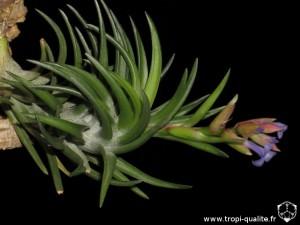 Tillandsia neglecta spécimen #3 (cliquez pour agrandir)