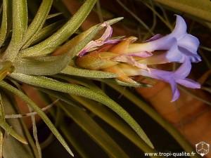 Tillandsia neglecta inflorescence (cliquez pour agrandir)
