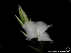 Tillandsia reichenbachii spécimen #3 fleur (cliquez pour agrandir)