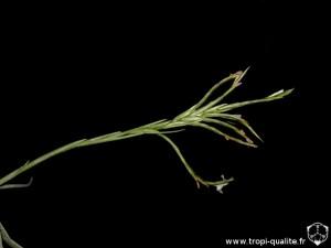 Tillandsia reichenbachii spécimen #3 inflorescence (cliquez pour agrandir)