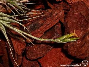 Tillandsia tricholepis spécimen #1 inflorescence (cliquez pour agrandir)
