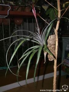 Tillandsia variabilis 2010 (cliquez pour agrandir)
